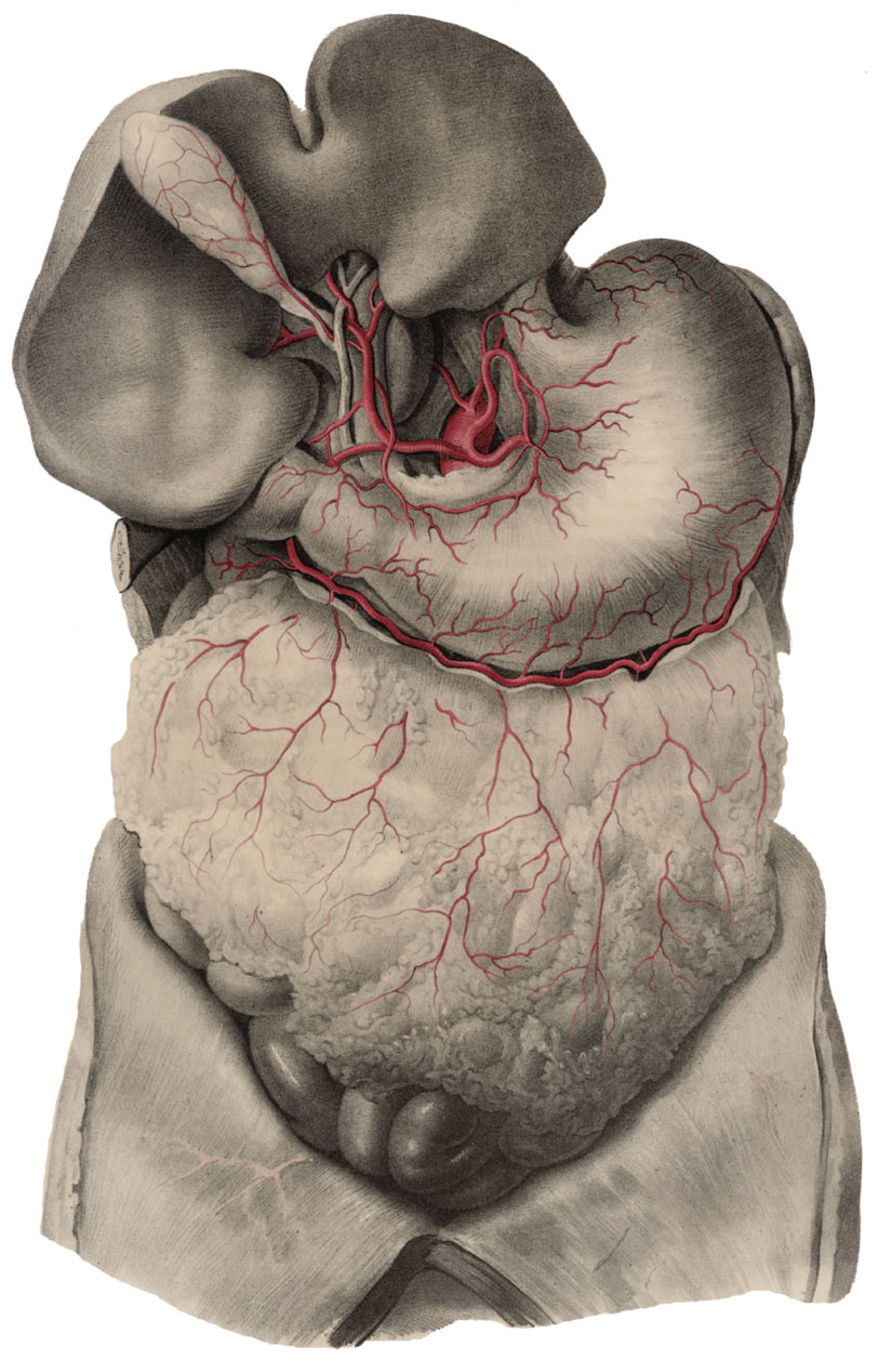 Anatomyexpert Right Gastric Artery Structure Detail
