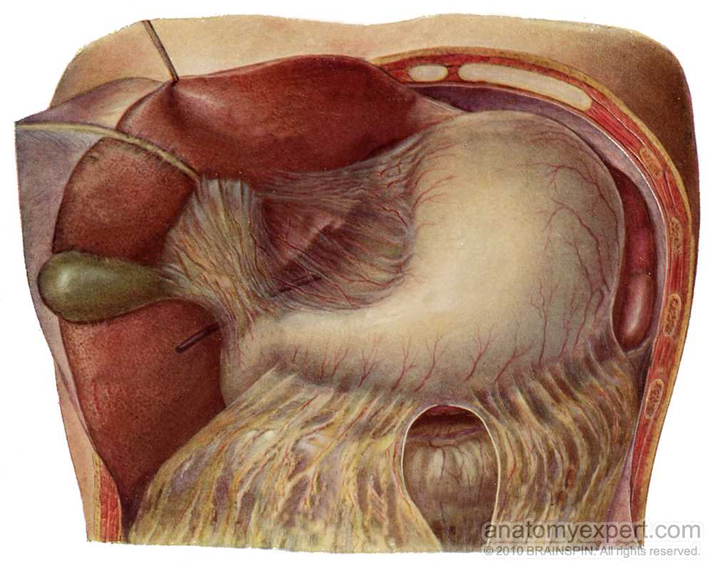 anatomyEXPERT - Lesser omentum - Structure Detail