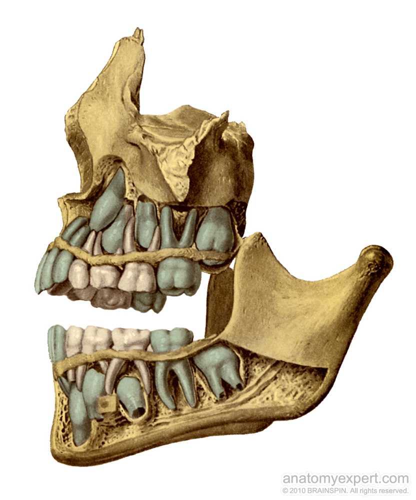molar tooth structure - 832×1000