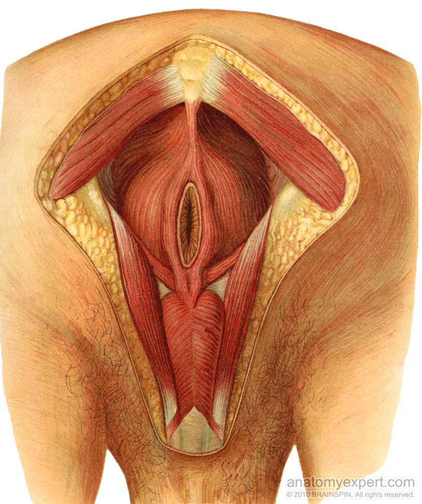 anatomyEXPERT - Gluteus maximus - Structure Detail